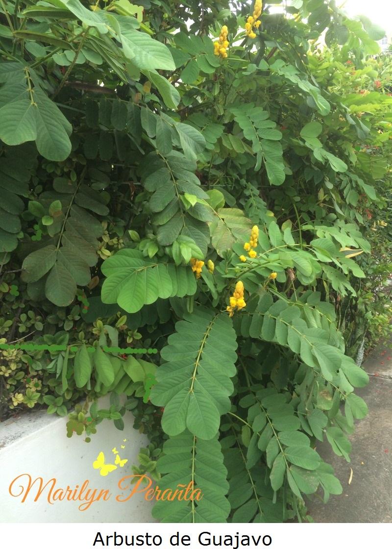 Arbusto de guajavo rboles y flores en rep blica dominicana for Arboles y arbustos para jardin