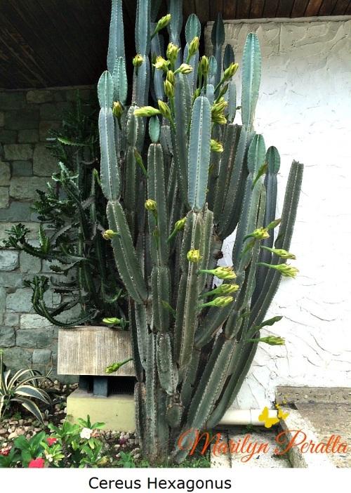 cereus-hexagonus
