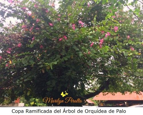 copa-ramificada-del-arbol-de-orquidea-de-palo