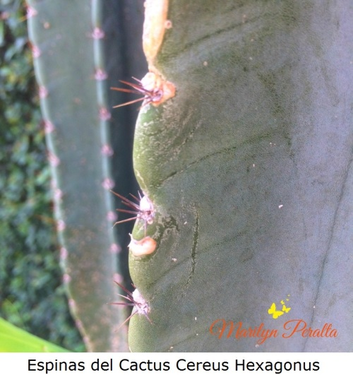 espinas-del-cactus-cereus-hexagonus