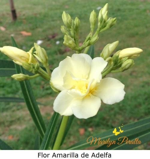 flor-amarilla-de-adelfa
