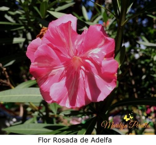 flor-rosada-de-adelfa