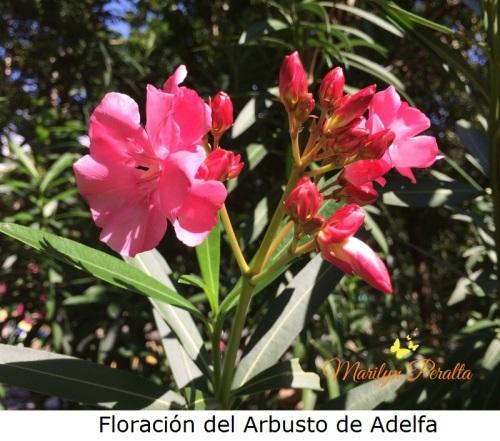 floracion-del-arbusto-de-adelfa