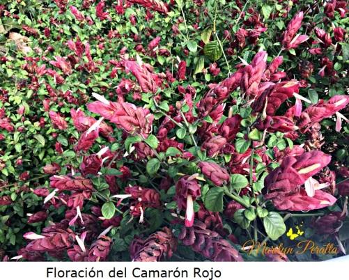 Floración del Camarón rojo