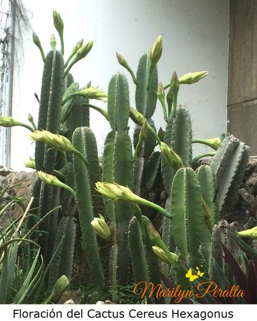 floracion-del-cereus-hexagonus