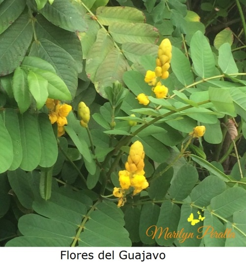 flores-del-guajavo