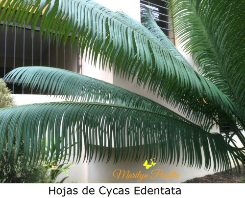 hojas-de-cycas-edentata