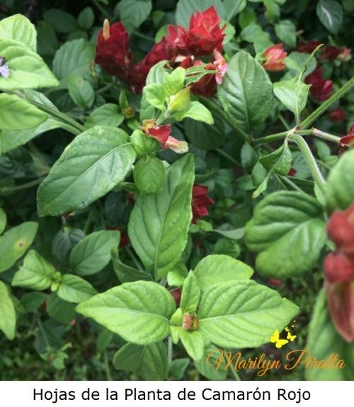 hojas-de-la-planta-de-camaron-rojo