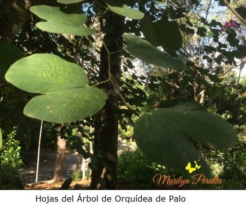 hojas-del-arbol-de-orquidea-de-palo