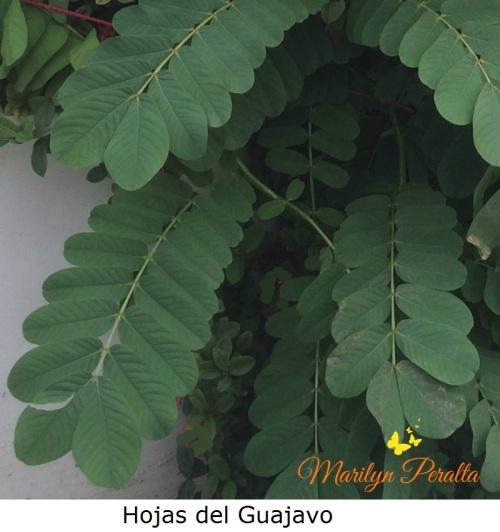 hojas-del-guajavo