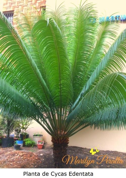 planta-de-cycas-edentata