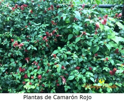 plantas-de-camaron-rojo