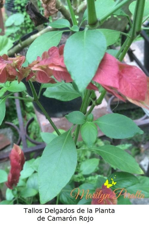 tallos-delgados-de-la-planta-de-camaron-rojo