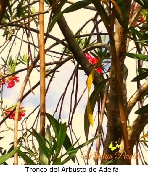 tronco-del-arbusto-de-adelfa