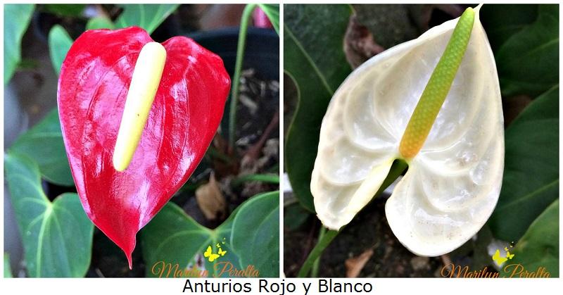 Anturios rboles y flores en rep blica dominicana for Jardines de anturios