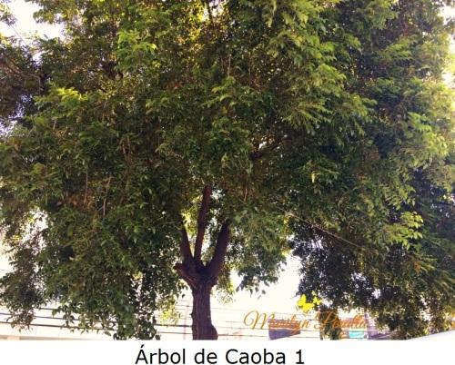 Árbol de Caoba 1