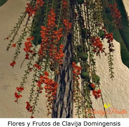 flores-y-frutos-de-clavija-domingensis