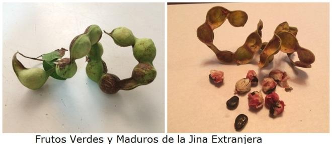 frutos-verdes-y-maduros-jina-extranjera