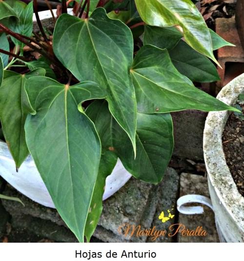 hojas-de-anturio