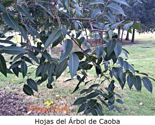 hojas-del-arbol-de-caoba