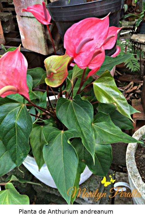 planta-de-anthurium-andreanum
