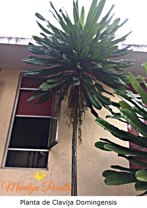 planta-de-clavija-domingensis
