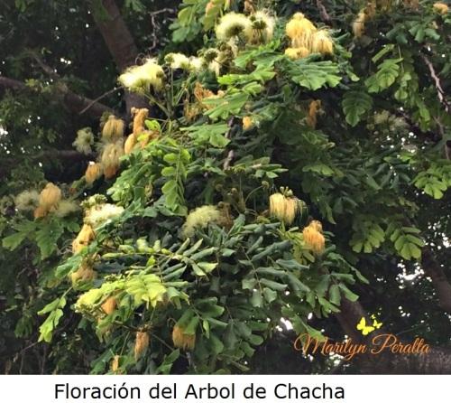 floracion-del-arbol-de-chacha