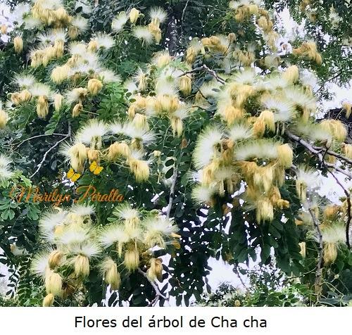 Flores del arbol de cha cha