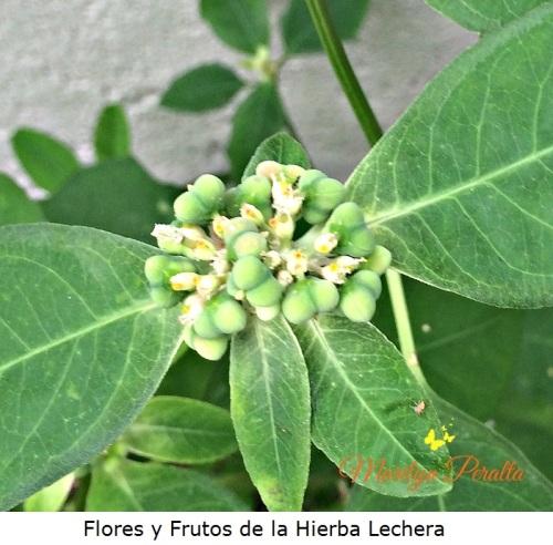 flores-y-frutos-de-la-hierba-lechera