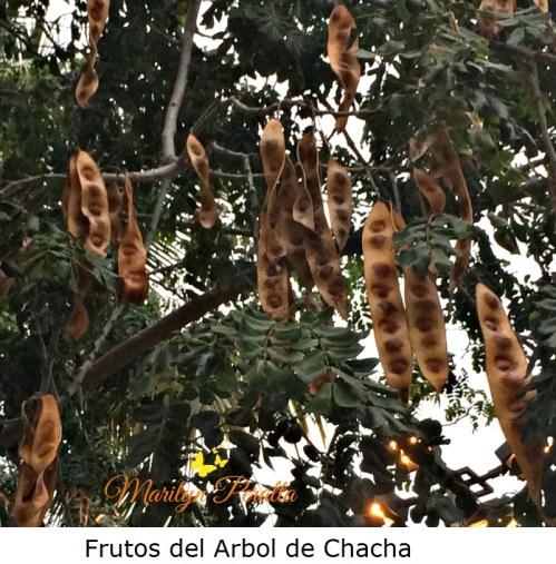 frutos-del-arbol-de-chacha