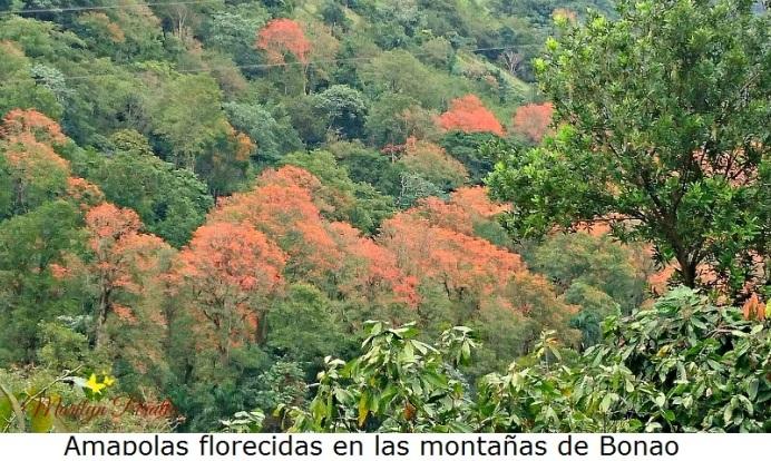 Amapolas florecidas en las montañas de Bonao