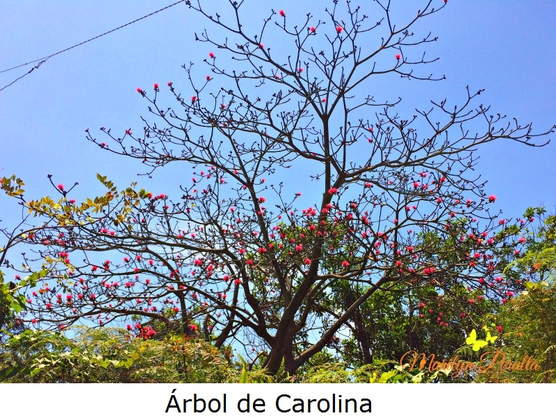 Arbol de Carolina