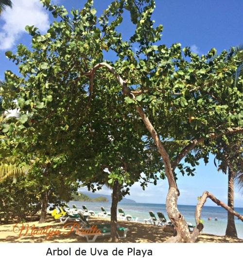 Arbol Uva de Playa