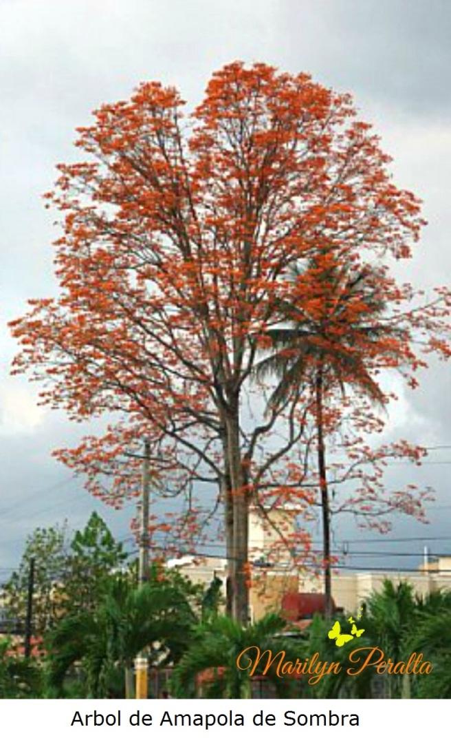 Árbol de Amapola de sombra