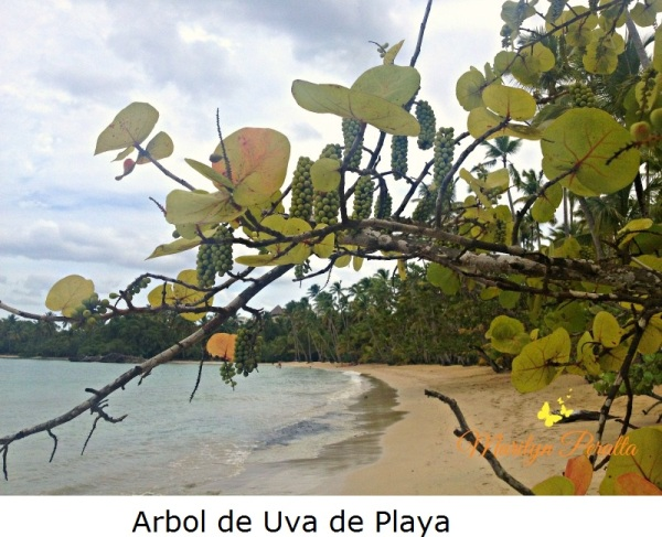 Árbol de Uva de Playa