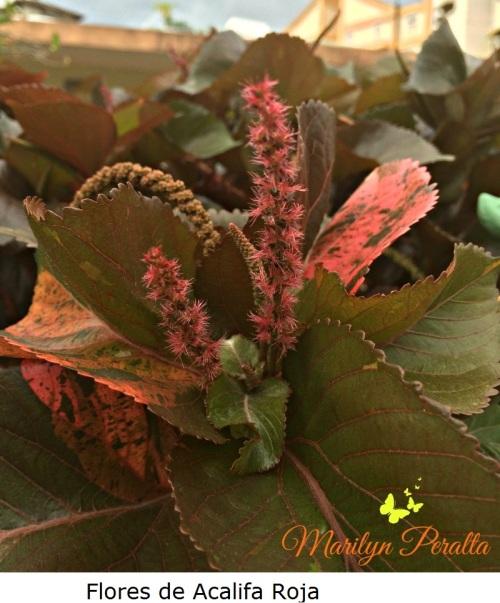 Flores de la Acalifa Roja