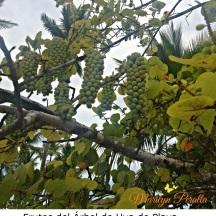 Frutos del Árbol de Uva de Playa