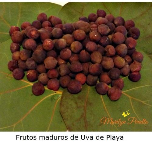 Frutos maduros de Uva de Playa,