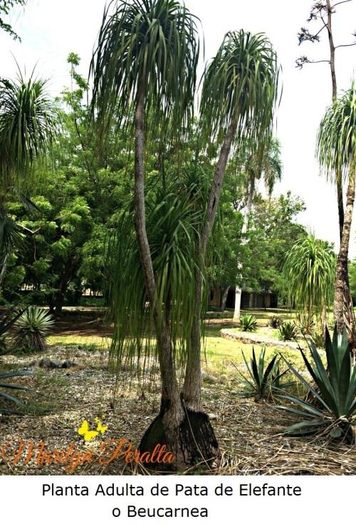Planta Adulta de Pata de Elefante o Beucarnea