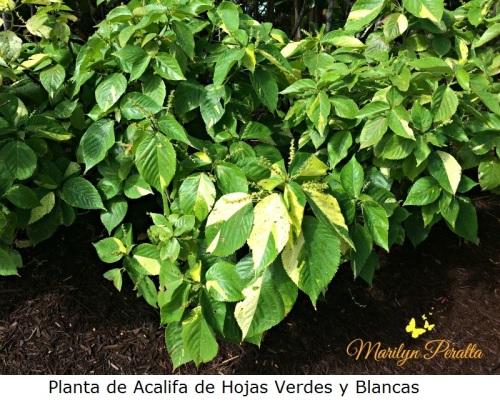 Planta de Acalifa de hojas verdes y blancas
