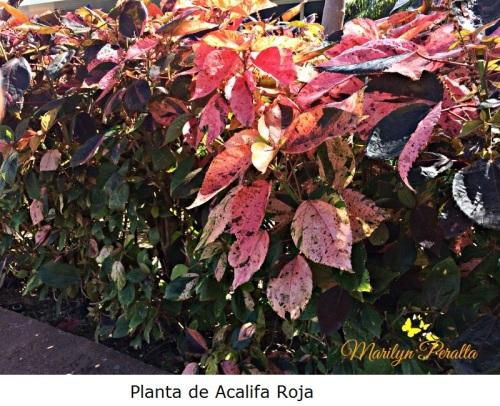 Planta de Acalifa Roja