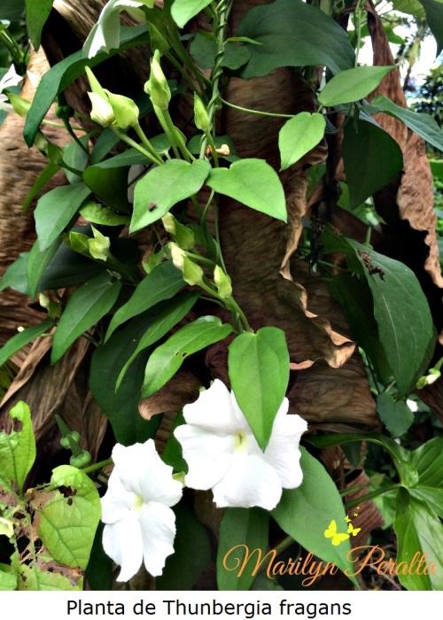 Planta de Trunbergia fragans