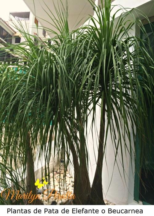 Plantas de Pata de Elefante o Beucarnea