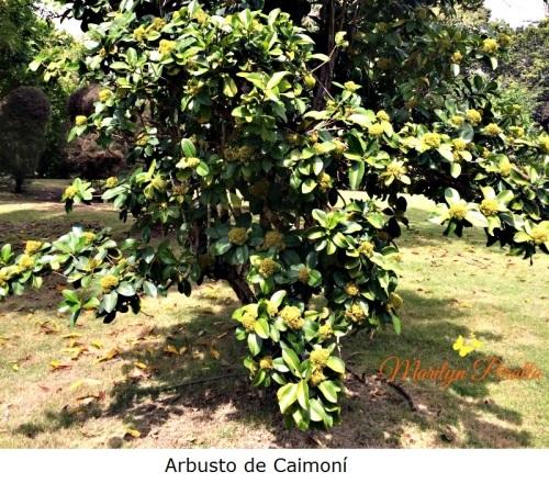 Arbusto de Caimoní