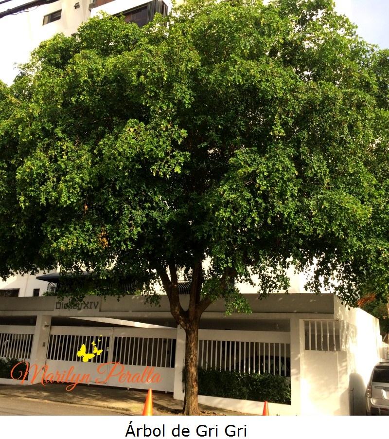 Árbol de Gri gri