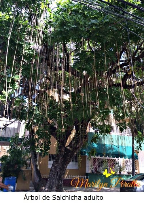 Árbol de Salchicha adulto