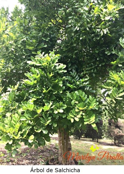 Árbol de Salchicha