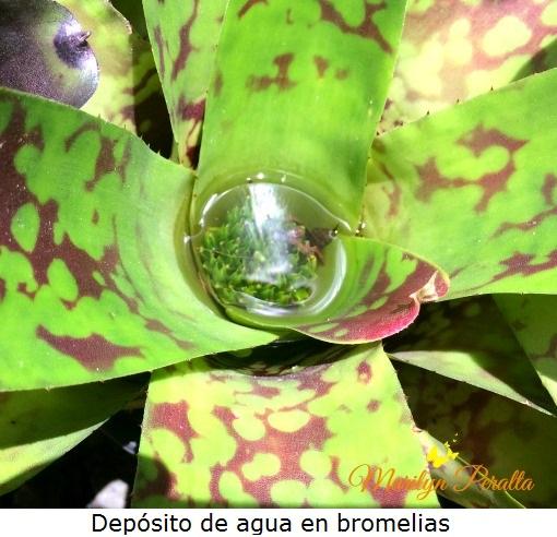Depósito de agua en bromelias
