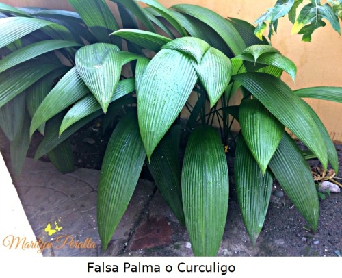 Falsa Palma o Curculigo