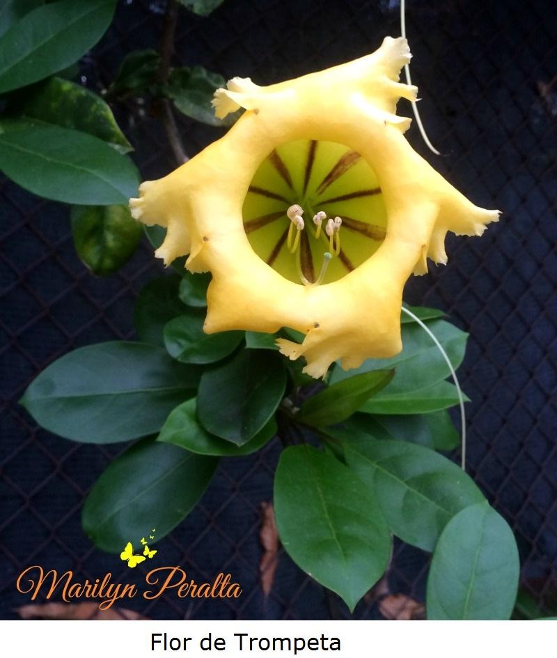 Flor de Trompeta